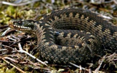 На Сторожинеччині 50-річного чоловіка, який збирав гриби у лісі, вкусила змія