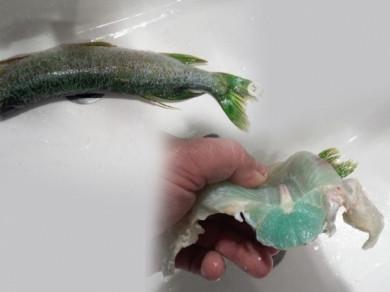 Зелену щуку з зеленим м'ясом спіймав рибалка на Рівненщині (ФОТО)
