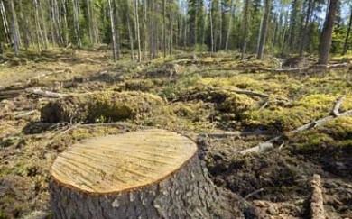 У Берегометському лісомисливському господарстві незаконно нарубали дерев на 1,5 млн. грн.
