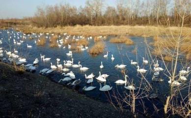 У Чорториї можуть загинути лебеді-шипуни — літня повінь порушила екосистему озер, куди вони прилітали на зимівлю