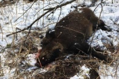 На Кельменеччині браконьєр застрелив 80-кілограмового дикого кабана