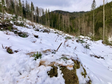У Берегометському лісництві підприємство незаконно зрубало дерев на суму 3,6 млн. гривень
