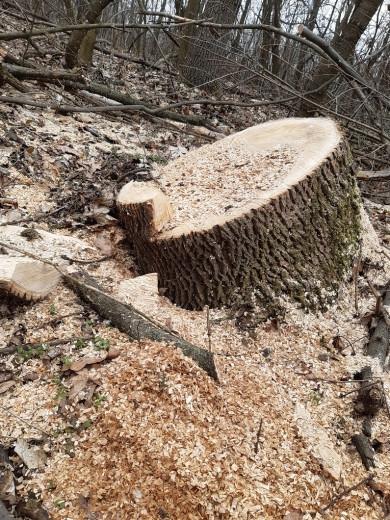 На території дендропарку «Киселівський «Гайдейка» за два роки незаконно вирубали дерев майже на пів мільйона гривень (ФОТО)