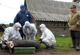 Через спалах африканської чуми на Буковині заб'ють 21 тисячу свиней