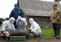На Буковині від африканської чуми померли майже сім тисяч свиней. Їх почали забивати