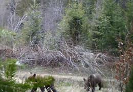 На Буковині виявили родину бурих ведмедів, популяція яких на межі зникнення