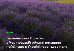 10 гектарів: У селі Білівці на Хотинщині висадили найбільше лавандове поле в Україні