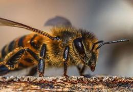 На Рівненщині бджоли до смерті закусали пасічника