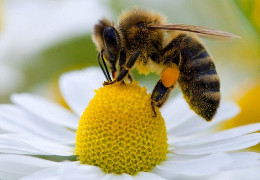 Чи будуть цього року буковинці з медом?