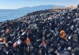 У Канаді через аномальну спеку могли загинути близько 1 млрд морських тварин