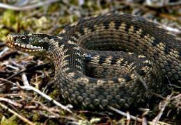 На Буковині змія покусала чоловіка і дитину. Вони у лікарні