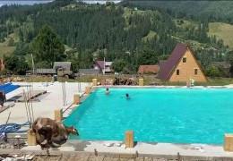 Неймовірні кадри з карпатського готелю: корова стрибнула в басейн до туристів