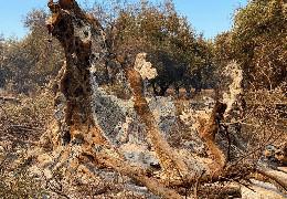 У Греції згоріло 2500-річне дерево, оспіване античними філософами