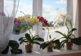 Орхідею краще прибрати з дому, особливо зі спальні, і ось чому