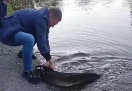 """З'явилося відео, як у водоймі парку """"Жовтневий"""" у Чернівцях виловили велетенського сома"""